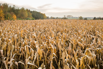 Biomass - a field of dired corn
