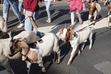 Almabtrieb Ankunft im Dorf - Angeleinte Ziegen auf der Straße