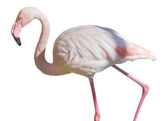 Photo sur Aluminium Flamingo African Greater Flamingos