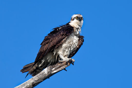 A mature osprey ruffles his feathers.