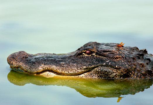 Dragonfly on an American alligator's head.