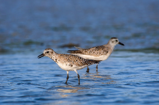 Semipalmated sandpipers wading in blue water in Southwest Florida.