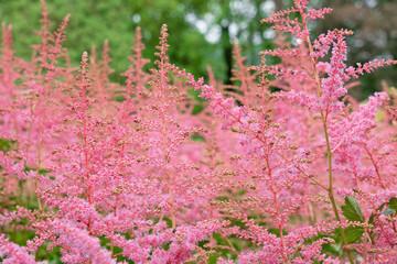 Pink grass in summer, Norwegian nature, Rosendal park