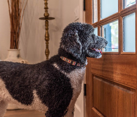 Large Black and White Dog looking out the door window