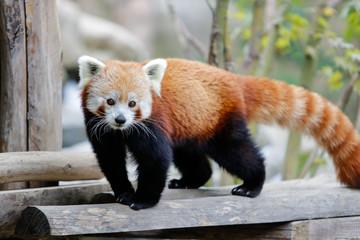 Foto op Aluminium Panda Panda roux