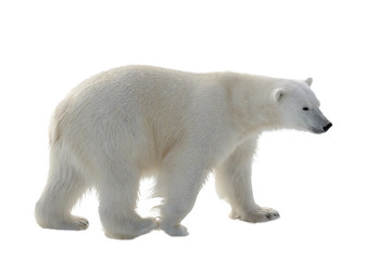 Tuinposter Ijsbeer Polar bear isolated on white background