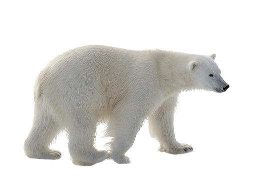 Polar bear isolated on white background