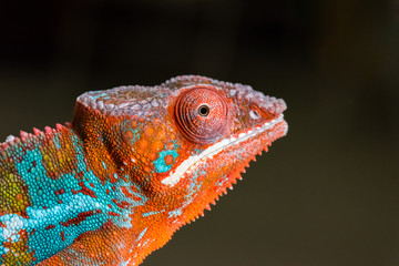 Panther Chameleon profile portrait