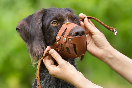 human hands put on a muzzle to muzzle a dog