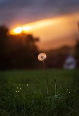 Von der Sonne angestrahlte Pusteblume auf einer Wiese