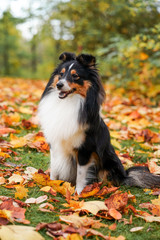 Autumn portrait of adorable young Sheltie Shetland Sheepdog sitting in colorful red and orange leaves.
