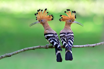Eurasian or common hoopoe (Upupa epops) fascinated brown crested bird with white and black wings closely perching on thin branch over bright expose lighting on lawn yard, exotic nature