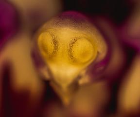 Fototapeta Falenopsis, ćmówka, Phalaenopsis Blume, ufo, storczyk, orchidea