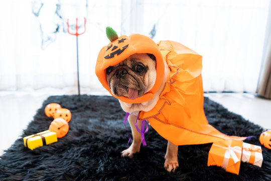 Cute pug dog with halloween costume party at home