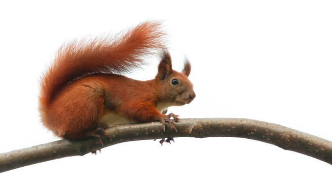 squirrel animal on tree branch in nature. isolated on white background