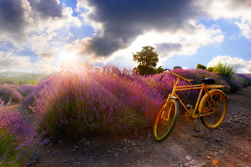 Aluminium Prints Bicycle yellow bicycle in the lavender fields