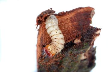 Borkenkäferlarve auf Ast (Scolytinae)