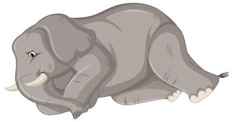 Sick elephant on white background