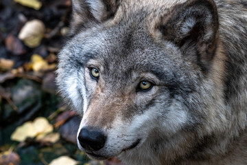 Portrait of a Canadian timber wolf, Quebec, Canada
