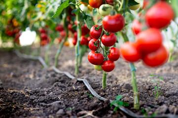 Red tomato