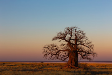 Large baobab tree after sunset