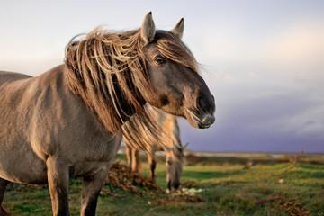 Close up portrait of semi-wild konik polski horse at Engure Lake Nature Park, Latvia. Another one...
