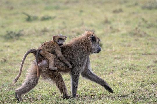 Baby baboon riding on its mother's back, staring straight at the camera.  Image taken in the Maasai Mara, Kenya.
