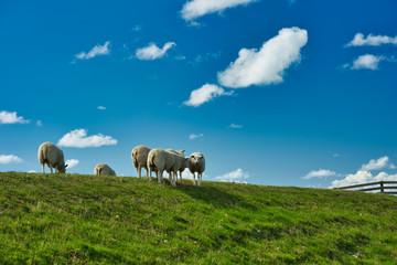 Schafe auf dem Damm Fotoväggar