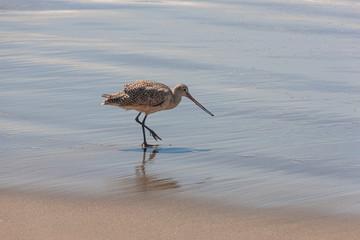 Marmorschnepfe am Strand von Morro Bay in kalifornien