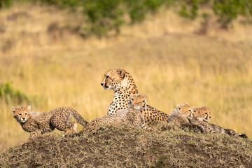 Cheetah sitting on a large termite mound surrounded by her cubs.  Image taken in the Maasai Mara, Kenya.