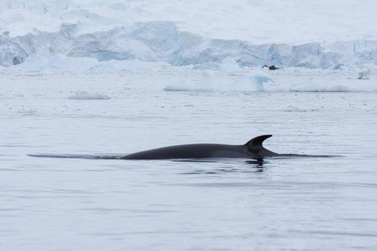 rorqual commun antarctique