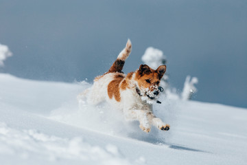 Happy fox terrier running wildly in the snow. Fun with a dog in the mountains. Hiking with a dog.