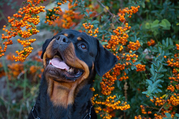Beautiful rottweiler dog head outdoor portrait on green bushes with orange berries natural background.