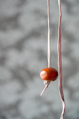 Conker on string for conker fight or battle. Typical autumn game