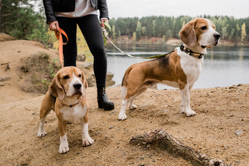 Young woman in skinny jeans and leather jacket chilling with cute beagle puppies