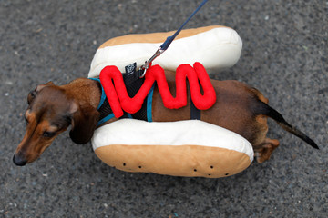 A dog is dressed as a hotdog at the Tompkins Square Halloween Dog Parade in Manhattan, New York City