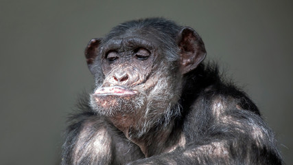 Funny chimpanzee portrait oFunny chimpanzee portrait on background, close upn background, close up