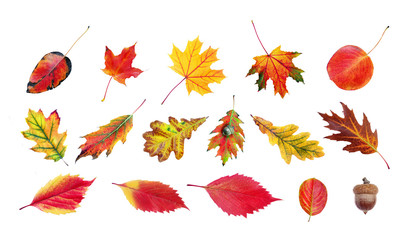 collection of bright colorful autumn leaves isolated on white. oak, maple, grape, cherry and apple...