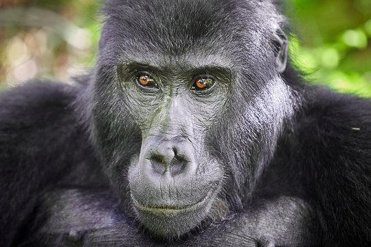 Portarit of Wild mountain gorilla in rwanda national park