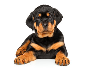 Rottweiler puppy lying on a white background