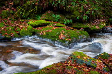 Spoed Fotobehang Bos rivier Rainforest Creek During the Autumnal Season. Red and yellow leaves dot the landscape along a creek in the Mt. Baker National Forest. The
