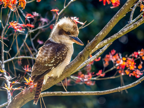 Side profile of a kookaburra sitting in a tree with autumn leaves in the background