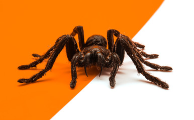 Black Halloween spider on orange and white background with blank space for text or image