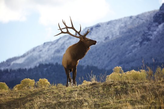 Yellowstone bull elk