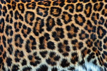 Foto op Canvas Luipaard Real skin texture of Leopard