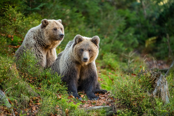 Wall Mural - Brown bear in autumn forest