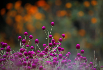 Globe amaranth flowers, used to make garlands and offer prayers, blooms on the field before selling them to the market for the Tihar festival, also called Diwali, in Bhaktapur