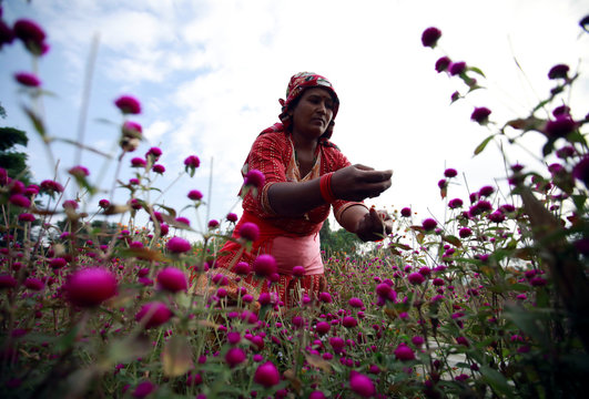 A woman picks globe amaranth flowers, used to make garlands and offer prayers, before selling them to the market for the Tihar festival, also called Diwali, in Bhaktapur