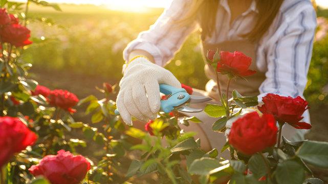 Woman pruning rose bush outdoors, closeup. Gardening tool