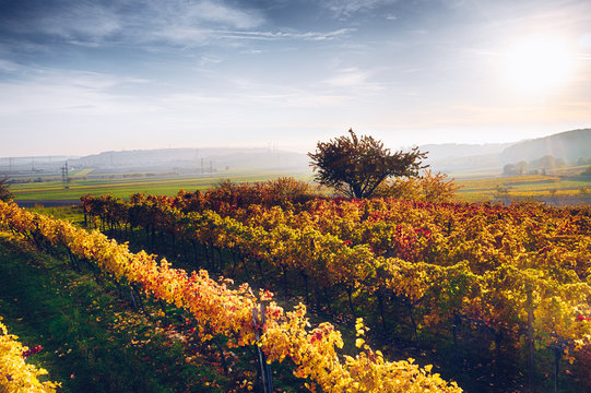 Autumn in the vineyards. Colorful leaves and tree during sunset.